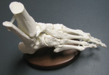 Flexible Foot Image on Base - Hesch Anatomical Products